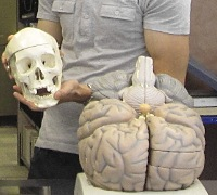 Holding a skull next to a enlarge brain display